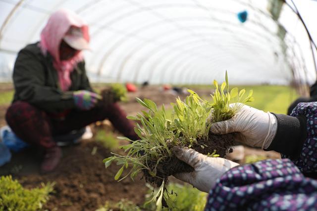 春うらら 花の栽培に勤しむ農家 遼寧省鞍山市 - Beezまとめ