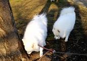 日本スピッツ、お友だち発見で2白モフモフ