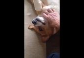 おれのコーギー犬がこんなに甘えん坊なはずがない!