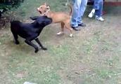 ピットブルの喧嘩根性はマジで凄い!さすが闘犬だわwwww