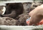 【閲覧注意】寝ているカワウソに餌を近づけると、、、