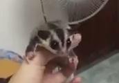 扇風機で飛ぶ練習をするモモンガがかわいすぎるww