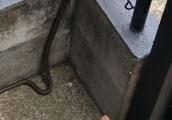 ヘビに猫パンチを浴びせる猫ちゃんwww