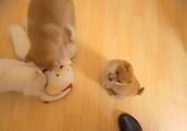 【犬】11日生まれの豆柴と普通柴です(^^♪