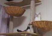 子猫の子猫によるキャットタワーの登り方講座