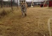 カメラに興味深々のトラさん♪