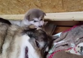 母犬の耳をガブガブする狼犬 生後日
