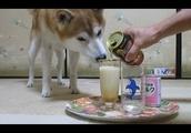 柴犬ちゃめの「ワンコにお酒は絶対にダメよ~ダメダメ!」 Shiba Inu