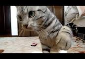 驚いてのけぞったついで空振り猫パンチ-Cat just swing away punch too afraid