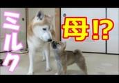 オスの先住犬を母犬と思っている⁉柴犬まめ