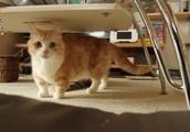 マンチカン猫がテーブルの下でキョトンとした顔でキョロキョロとしているGIF画像