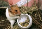 ハムスターが食事中に触られて嫌がるGIF画像