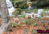 3匹の子犬が庭園をはしゃぎ回るGIF画像