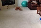 柴犬が頭を床につけて滑るGIF画像