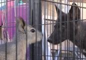 マーラがケージ越しにオオカミと見つめ合うGIF画像