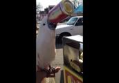白いオウムが缶コーラを飲んでいるGIF画像