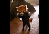 立っている姿が可愛いレッサーパンダのGIF画像