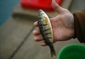 Wisconsin vendors scramble as fresh Great Lakes perch supply shrinks