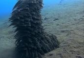 意思を持った巨大生命体みたい!群れで様々なフォーメーションを作る魚