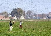 中国の農業専門家、サバクトビバッタ飛来に警鐘