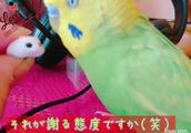 ピッピ社長 ハムニダ姫に謝罪(笑)お喋りインコピッピ