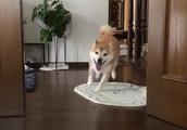 【柴犬】全力でぶつかってくるよ❤️ママちんひっくりかえった