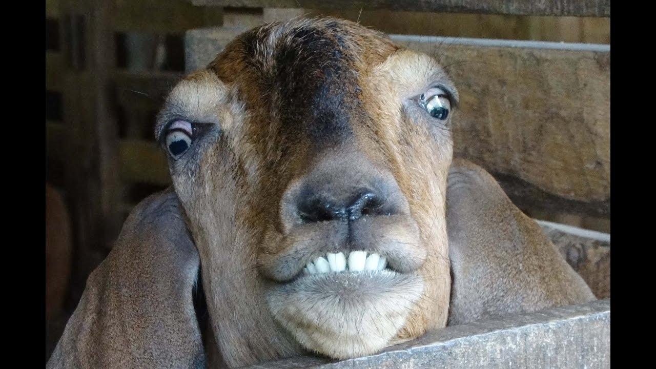 Goat Funny Images - impremedia.net