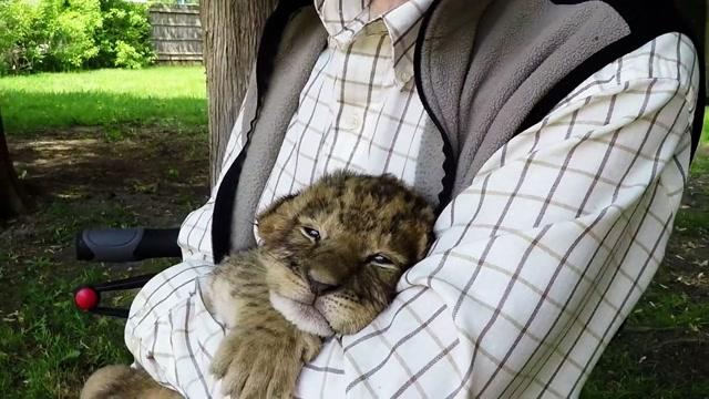 Tiny Tiger Cub Tries to Roar!